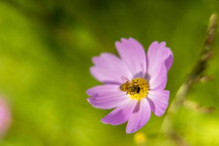 コスモスにとまるハチ