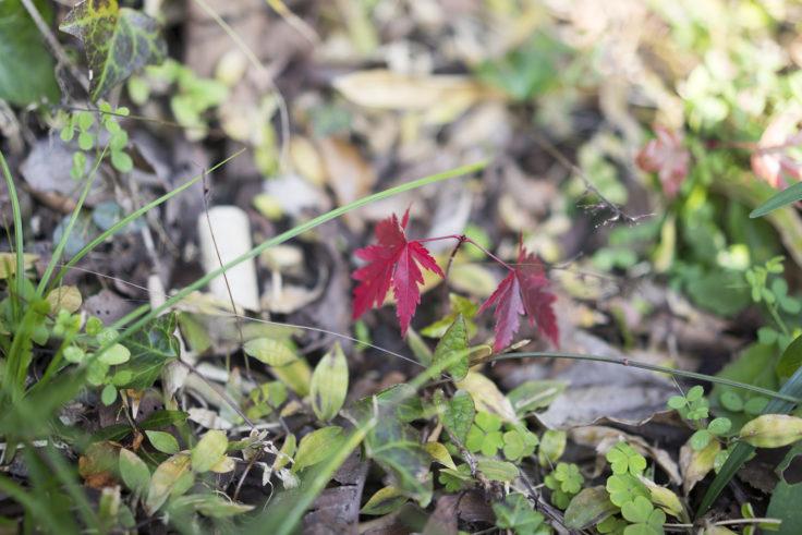 川島神社の紅葉苗