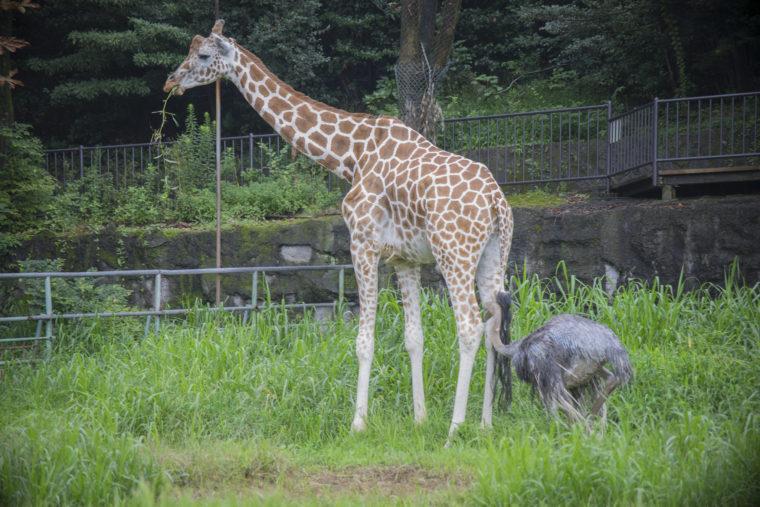 東山動植物園のキリン、つっつくダチョウ