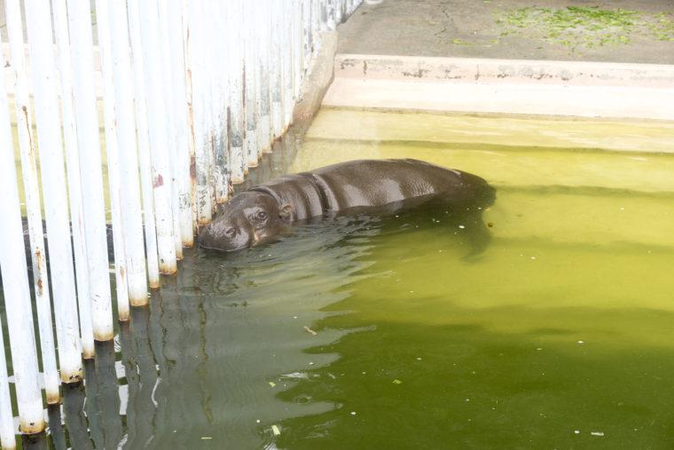 東山動植物園のコビトカバ3