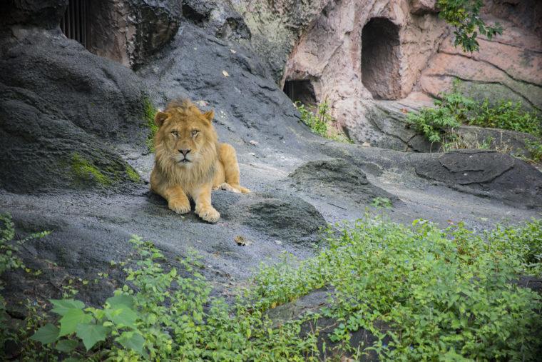 東山動植物園のライオン