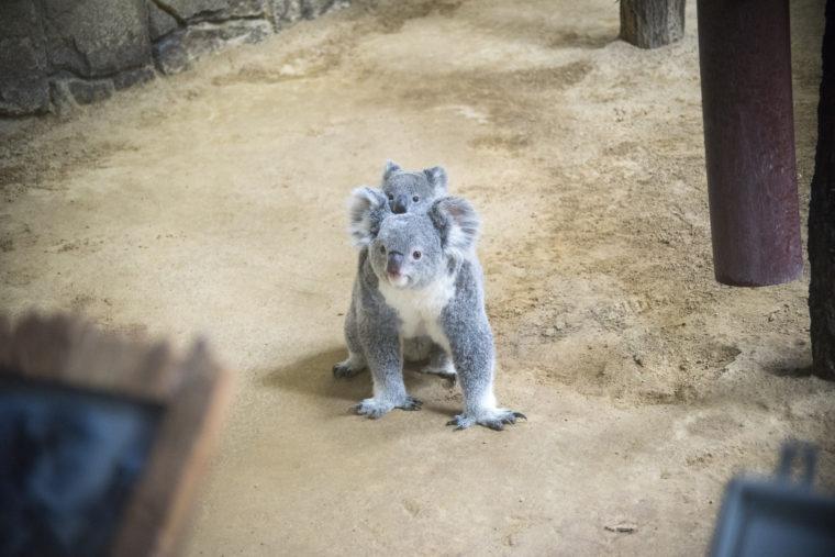 東山動植物園の歩くコアラ