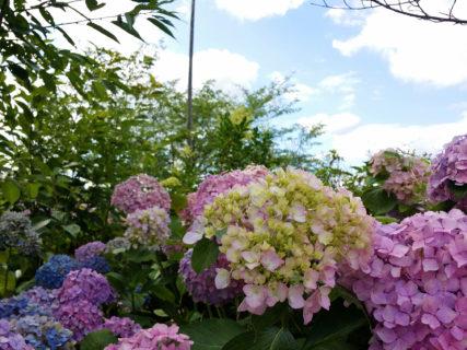 亀鶴公園の紫陽花