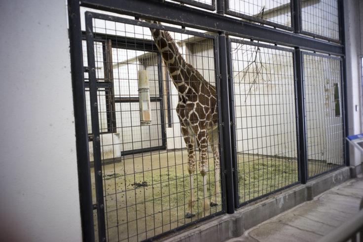 いしかわ動物園のキリンの子ども