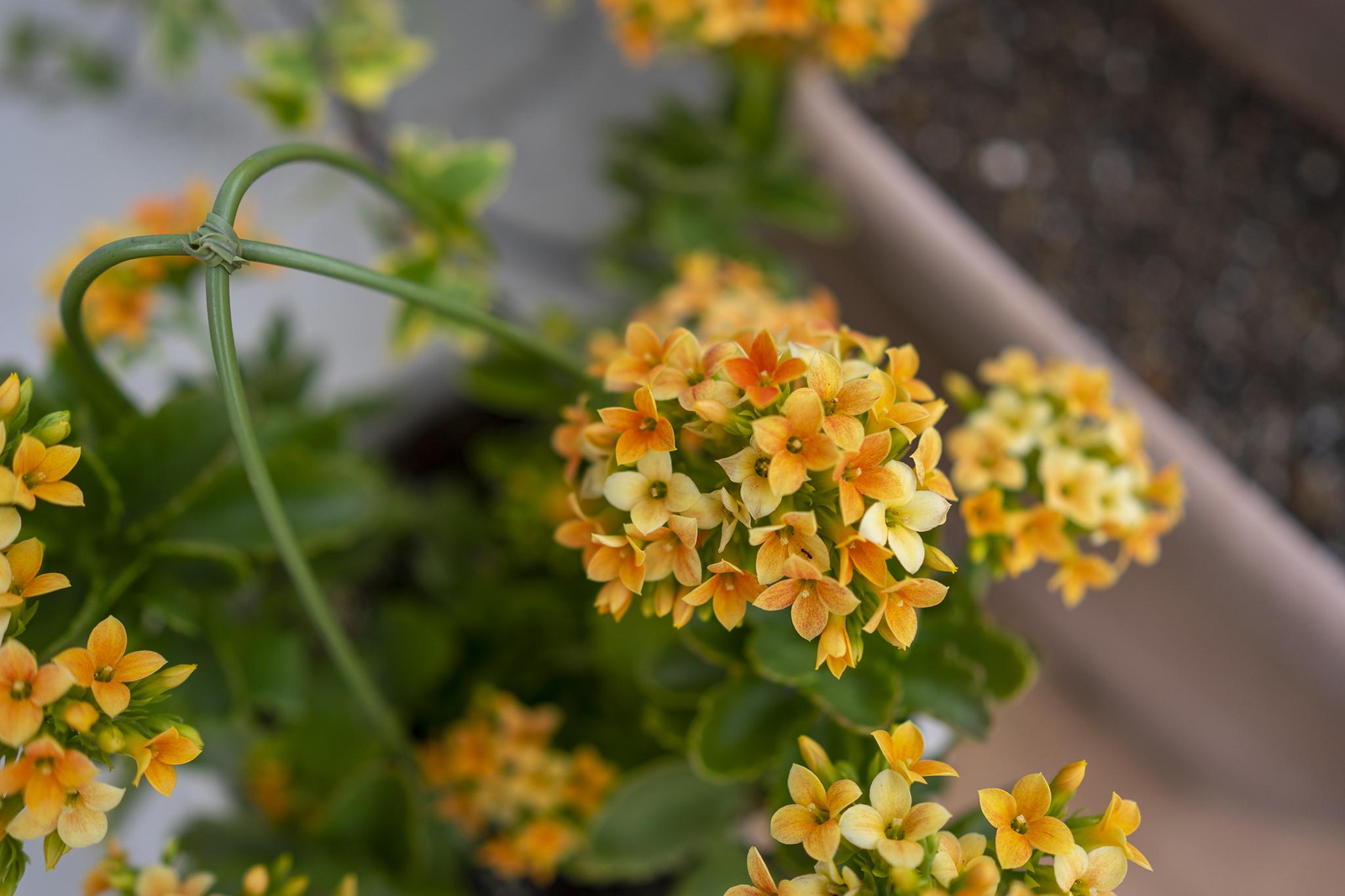 カランコエの花言葉と誕生花