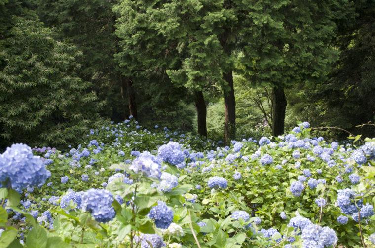 大窪寺の紫陽花谷