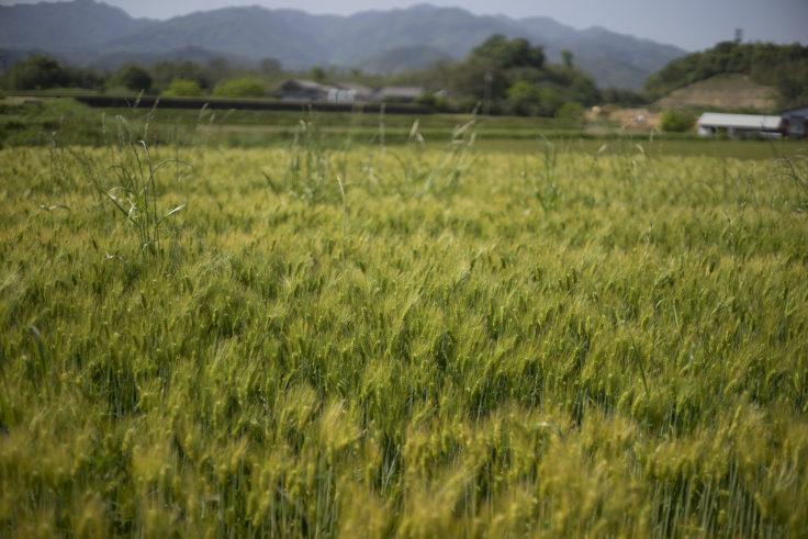大井七つ塚古墳群の麦