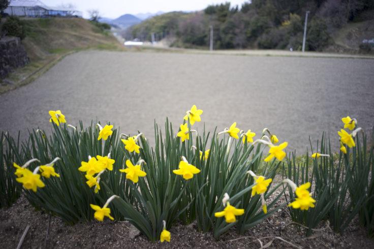 綾川町の黄色い水仙