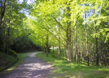 太古の森のメタセコイヤ並木