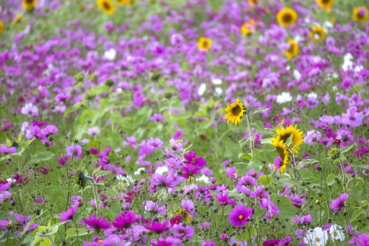中田養蜂のコスモスとヒマワリ2