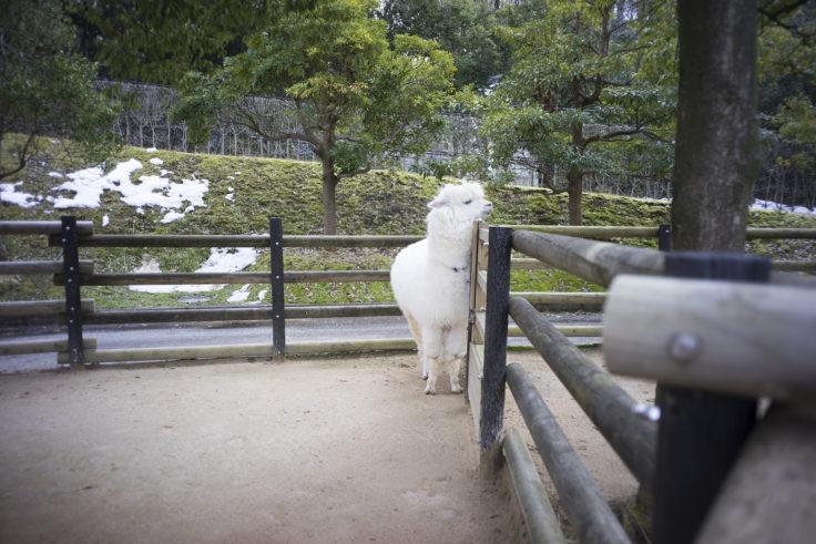 いしかわ動物園のアルパカ