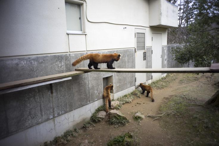 いしかわ動物園のレッサーパンダ