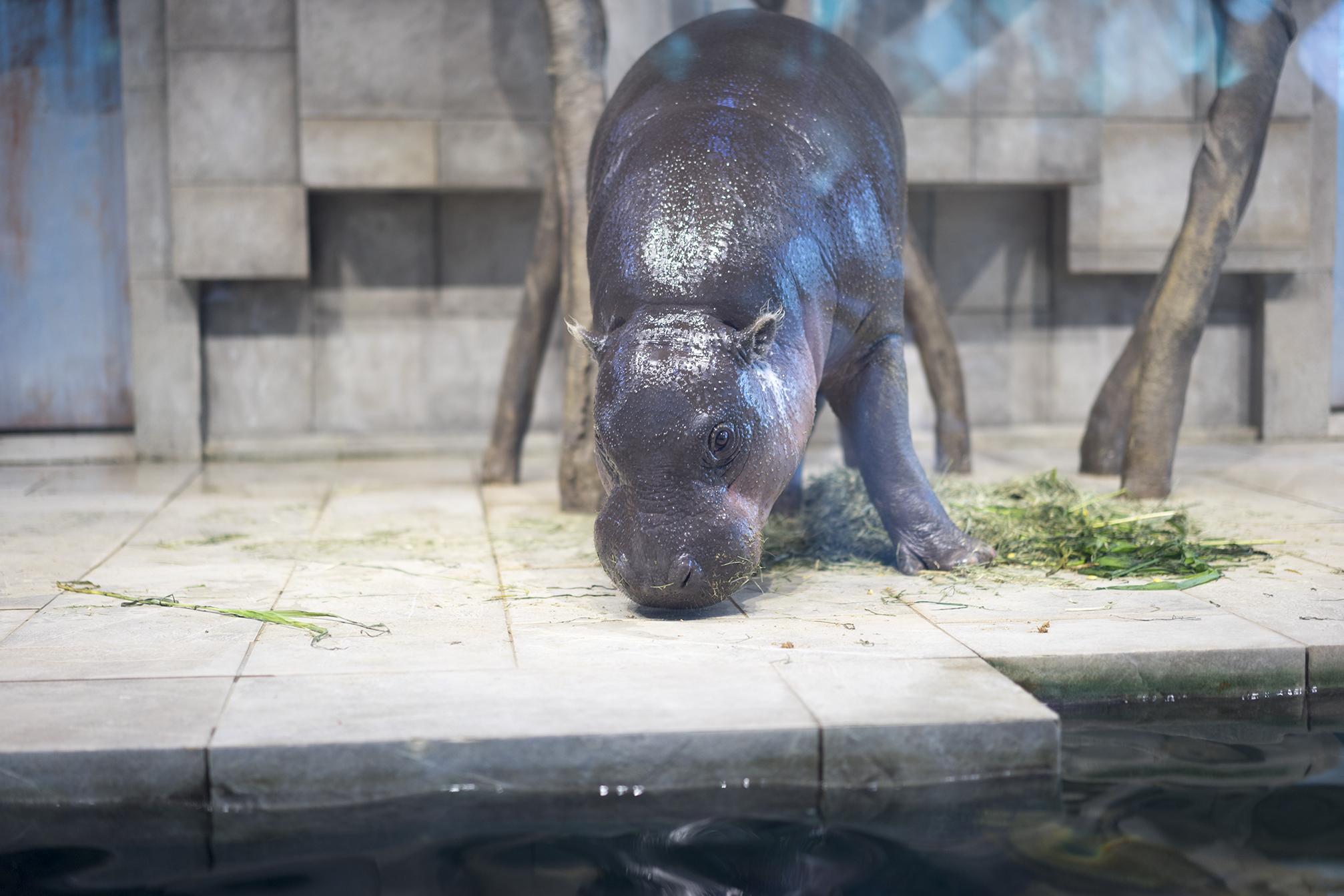 日本国内でコビトカバ(ミニカバ)のいる6つの動物園