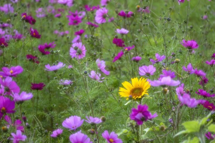 中田養蜂のコスモスとヒマワリ3