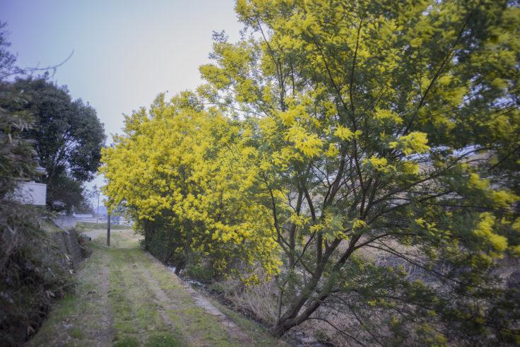 綾川町のミモザ4