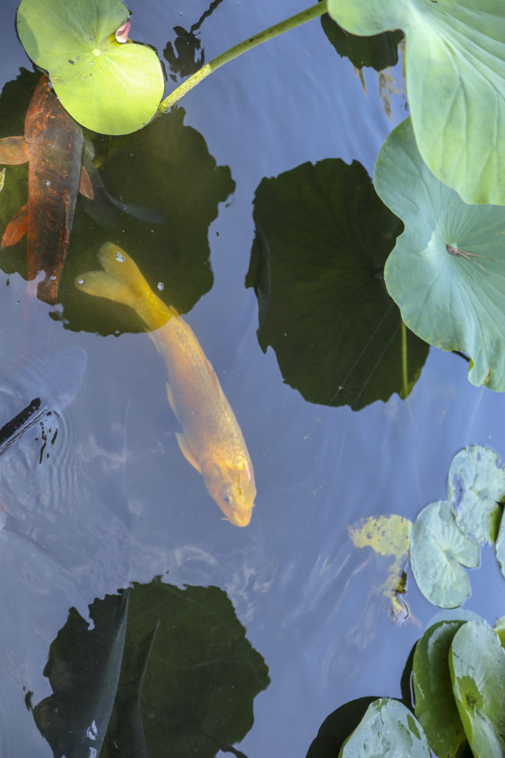 松本城の鯉
