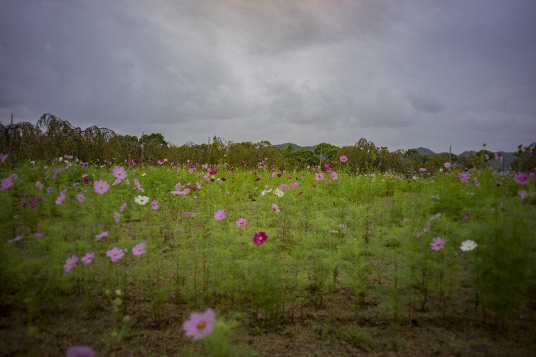 鳴門ウチノ海総合公園のコスモス