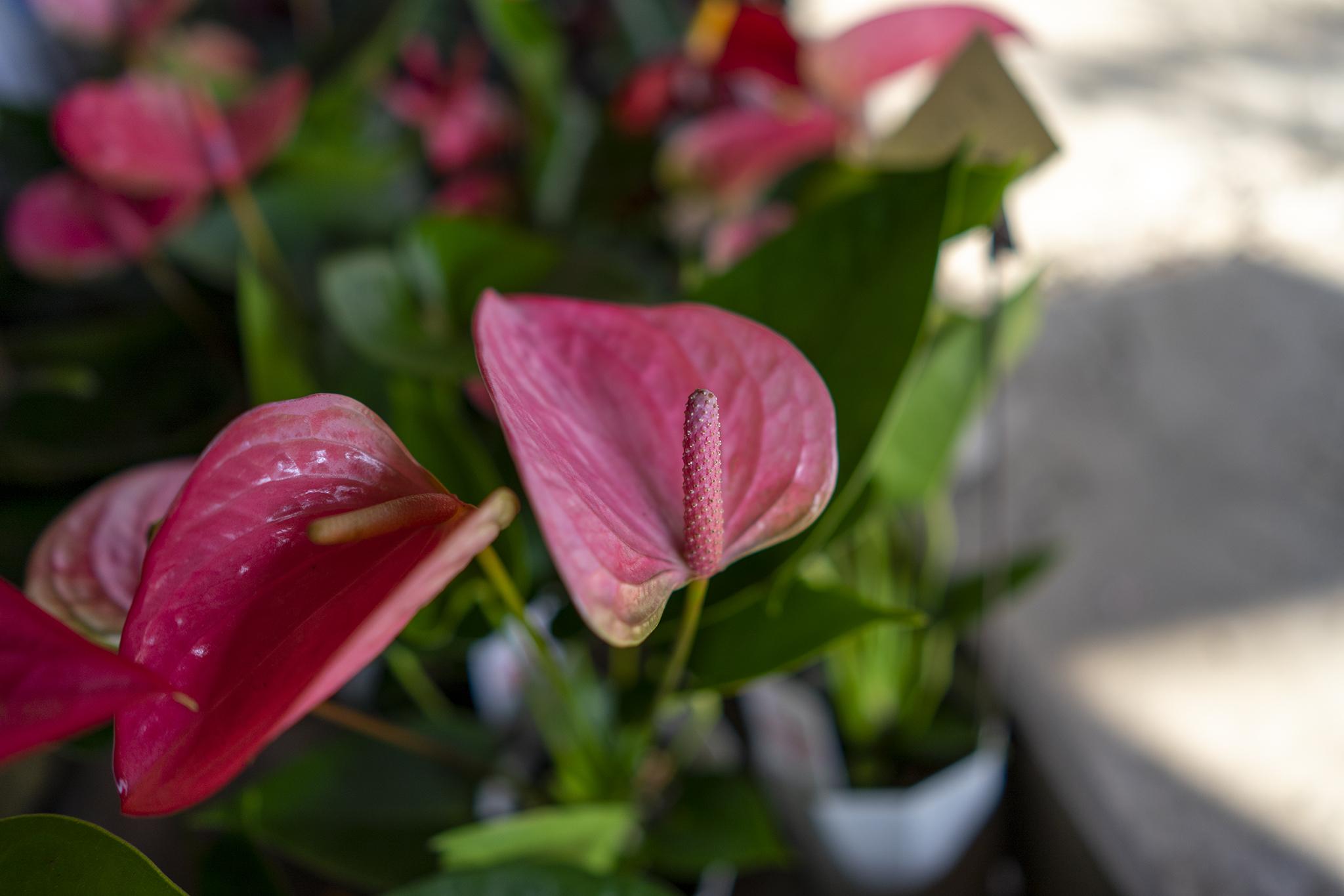 3色のアンスリウムの花言葉と誕生花