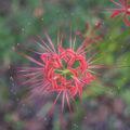 みろく自然公園で4色に咲き誇る彼岸花(赤・白・橙・桃)