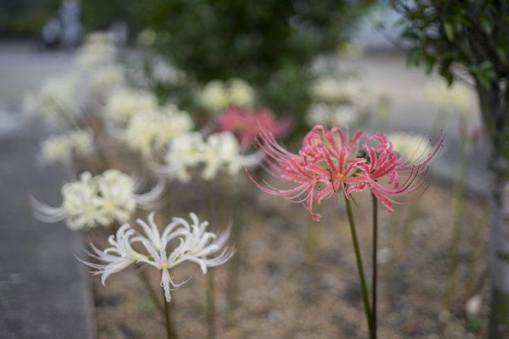 みろく自然公園のピンクと白の彼岸花