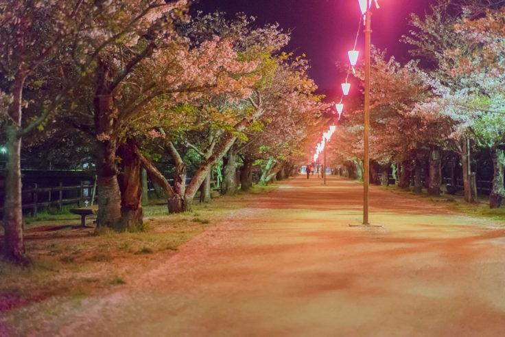 亀鶴公園夜桜2