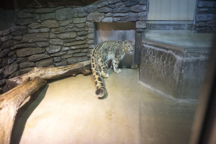 いしかわ動物園のユキヒョウ2