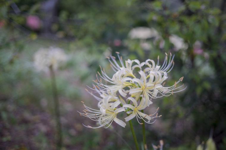 みろく自然公園の白い彼岸花3