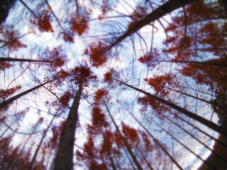 太古の森のメタセコイア