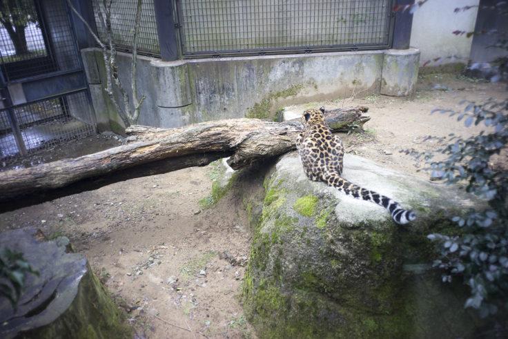 いしかわ動物園のヒョウー