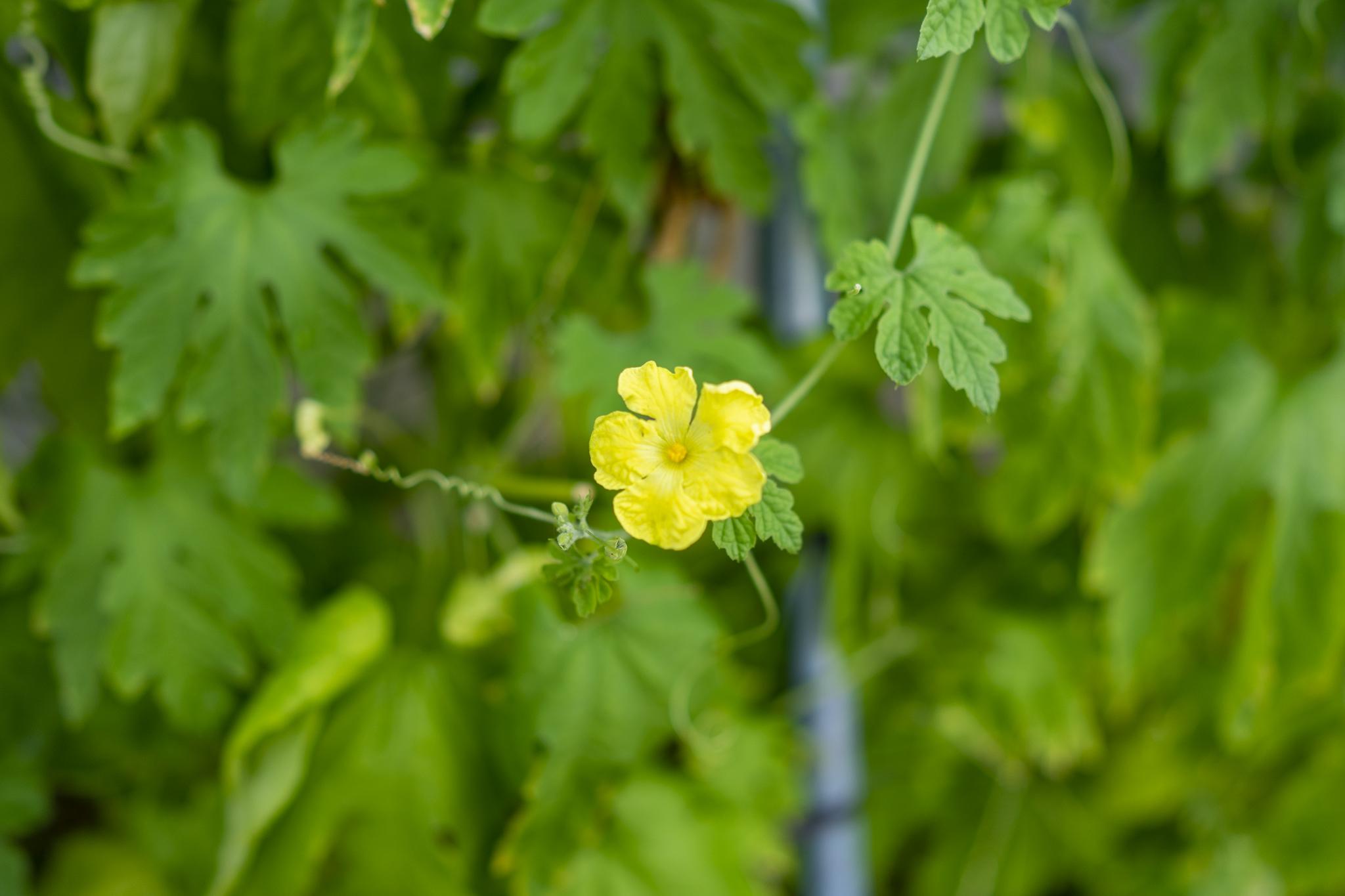 ゴーヤの花言葉と誕生花