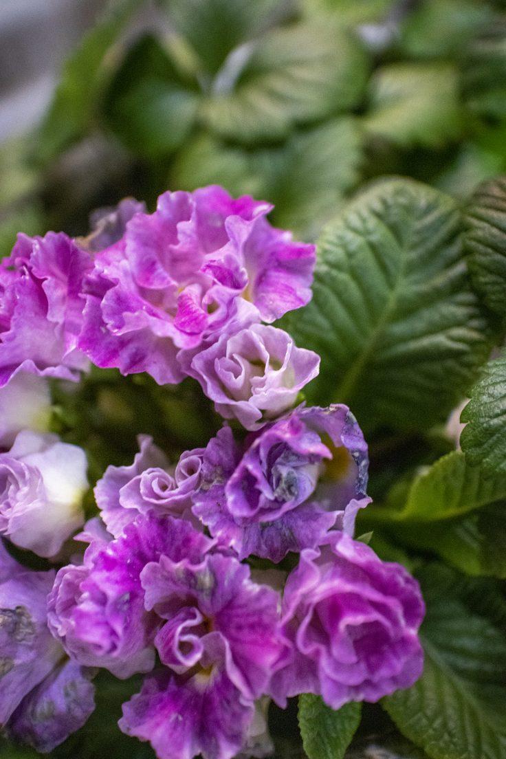 プレミアムバラ咲きジュリアンブルーベリーのムース