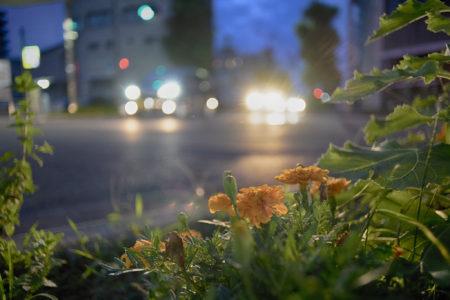 夜のマリーゴールド