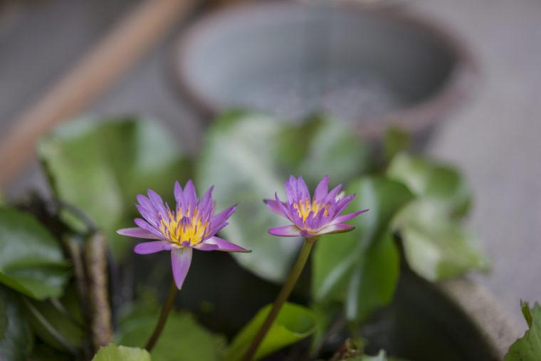 ベランダの熱帯睡蓮