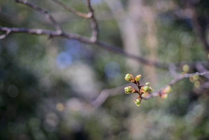 志度寺の桜の蕾
