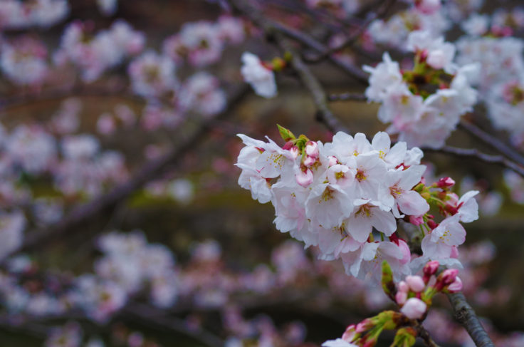倉敷美観地区の桜
