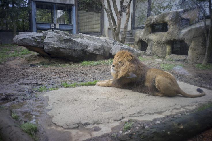 いしかわ動物園のライオン