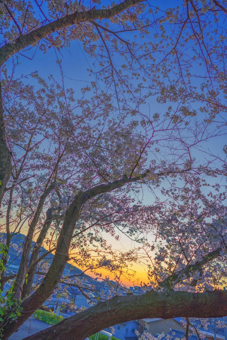 夕焼けと桜
