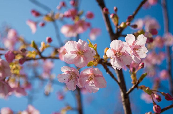 風の道の桜
