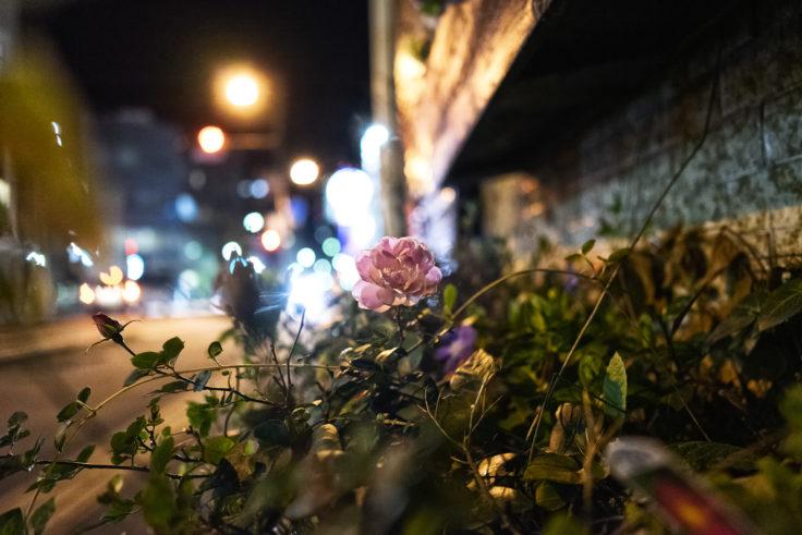 夜のピンクのバラ