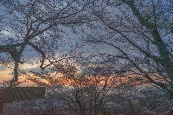 白峰展望台の夕焼け桜4