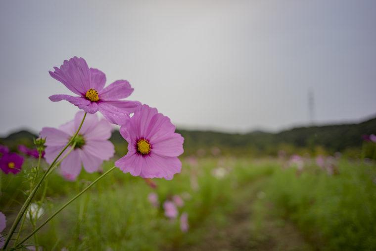 鳴門ウチノ海総合公園のコスモスアップ2