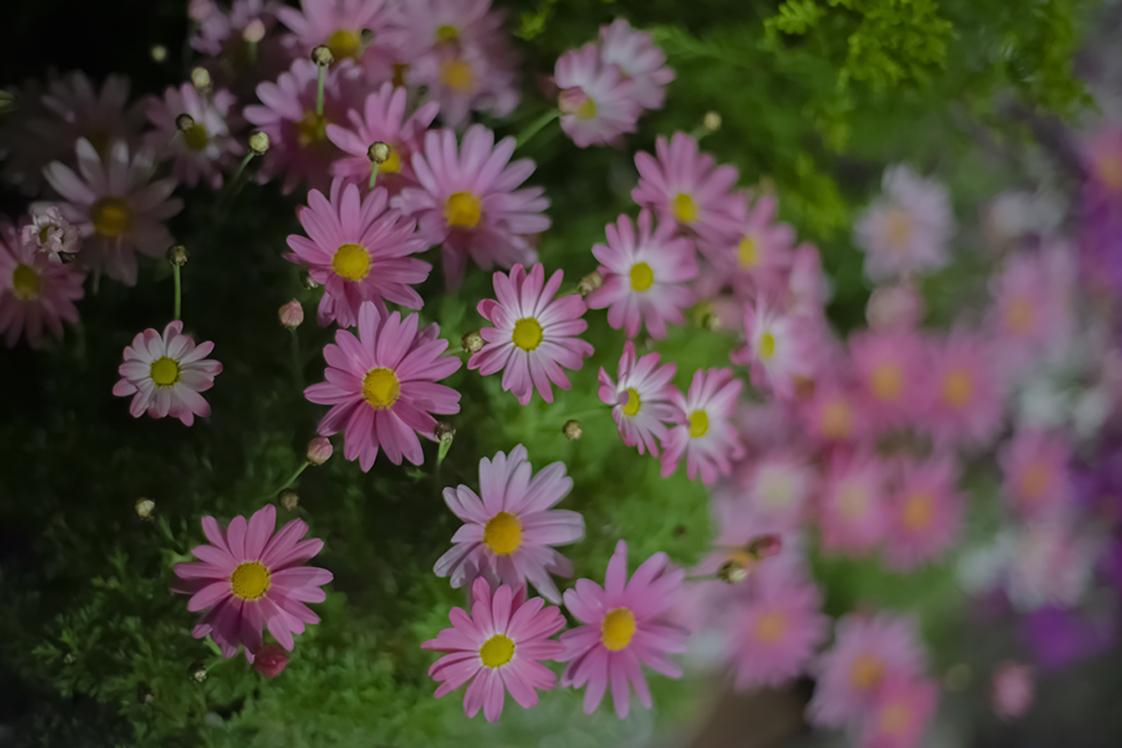 夜に咲くピンクのマーガレット