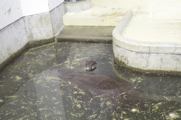 いしかわ動物園のコビトカバ赤ちゃん1