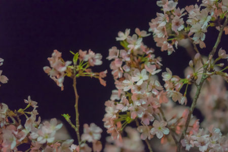 亀鶴公園の夜桜アップ