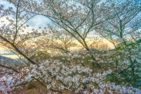 白峰展望台の夕焼け桜