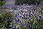 潮明寺に咲くトレニア