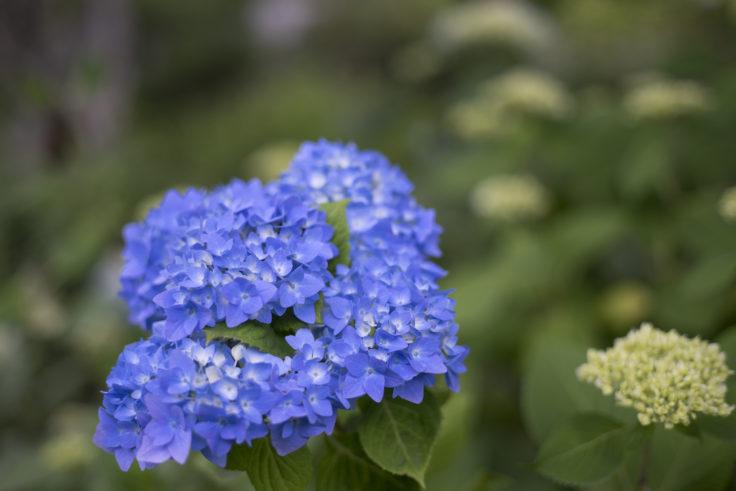 摩耶の紫陽花