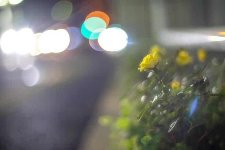 夜に咲く黄色のバラ