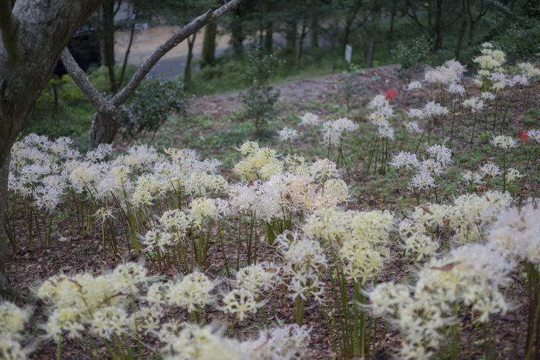 みろく自然公園の白の彼岸花群生