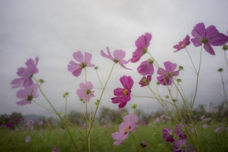 鳴門ウチノ海総合公園のコスモスアップ
